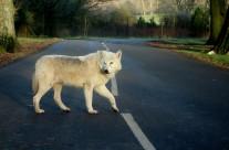 Traffic Savvy Wolf