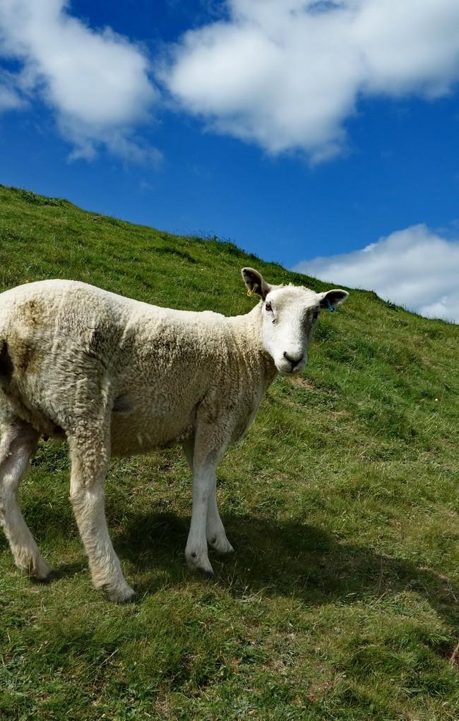 Sheep On Glastonbury Tor