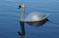 Swan At Stourhead